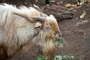 Animal Goat Bock Horns Goatee Billy Goat Farm